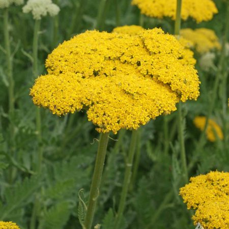 Yarrow Gold