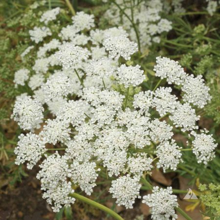 False Queen Anne's Lace