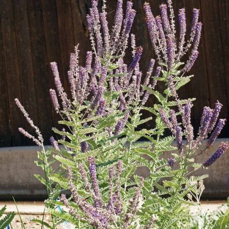 Leadplant or Downy Indigo Bush