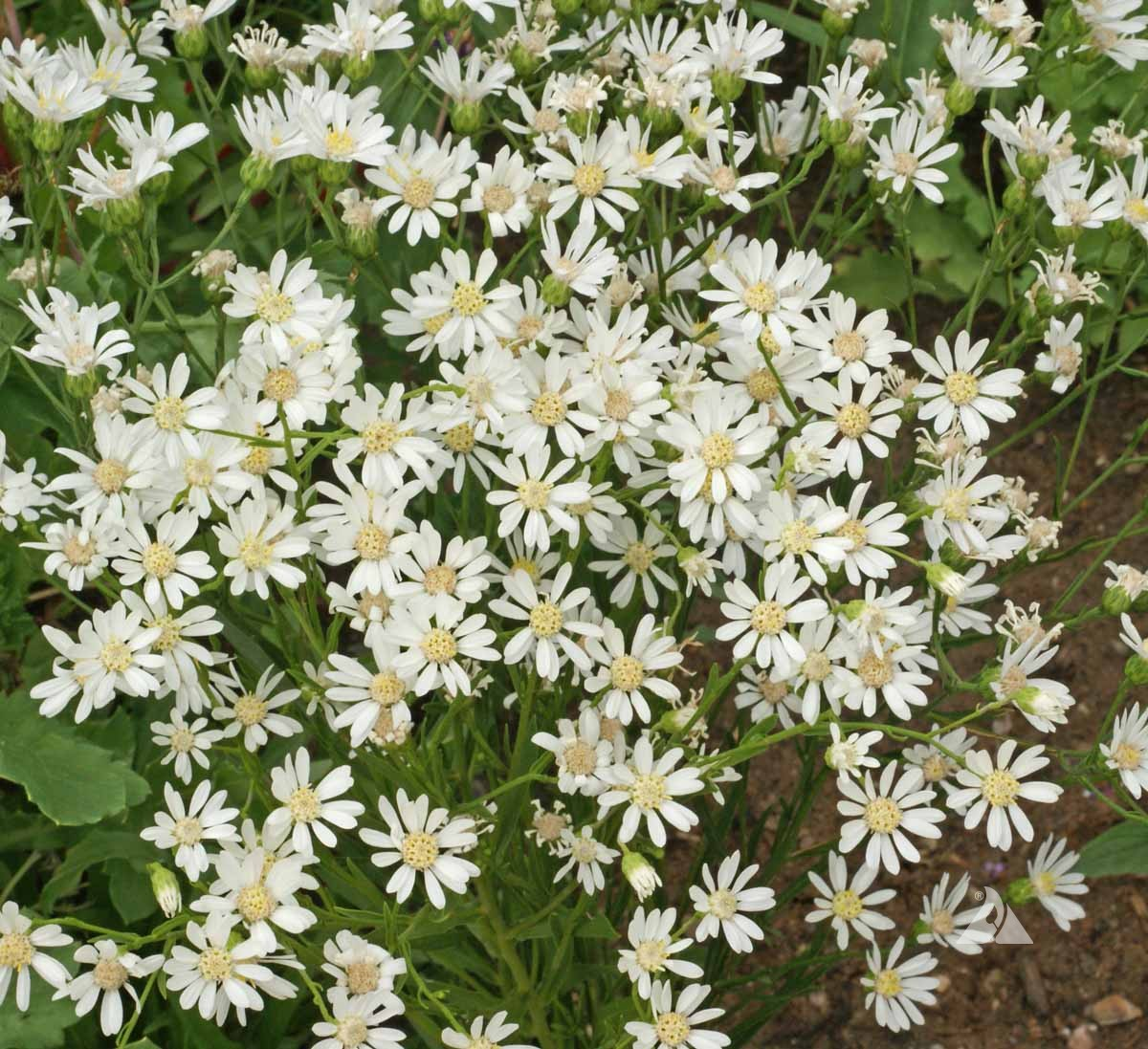 White Upland Aster Aster Ptarmicoides Applewood Seed Company