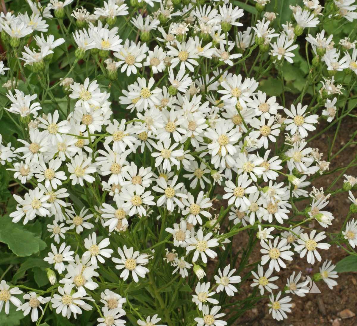 Aster, White Upland
