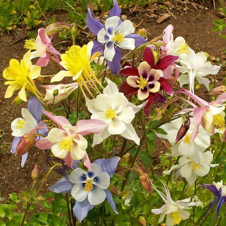 Columbine Mixed Colors