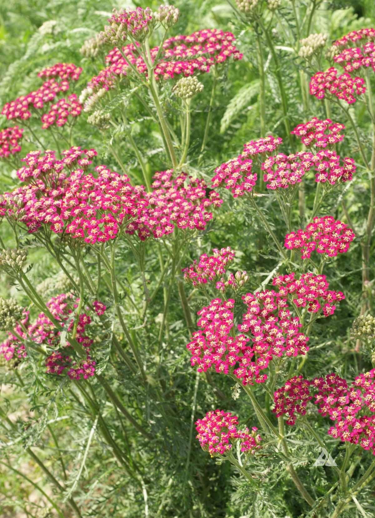 Red Yarrow  Achillea Millefolium Rubra
