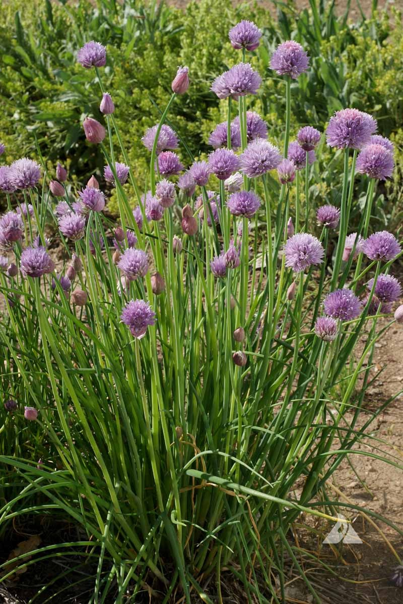 Culinary Herb 1000 Seeds Allium Schoenoprasum Chives