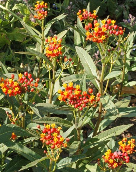 Red Butterfly Milkweed Asclepias Curassavica Red: Bloodflower (Asclepias Curassavica)