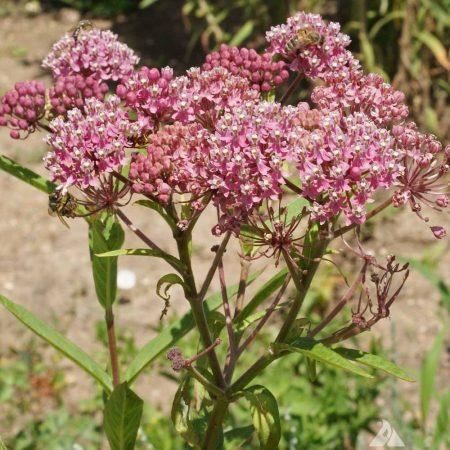 Rose Milkweed