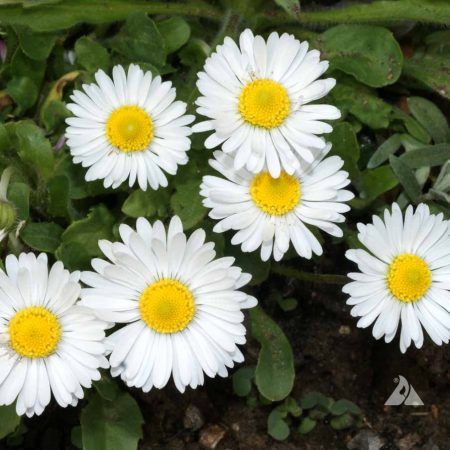 English Daisy