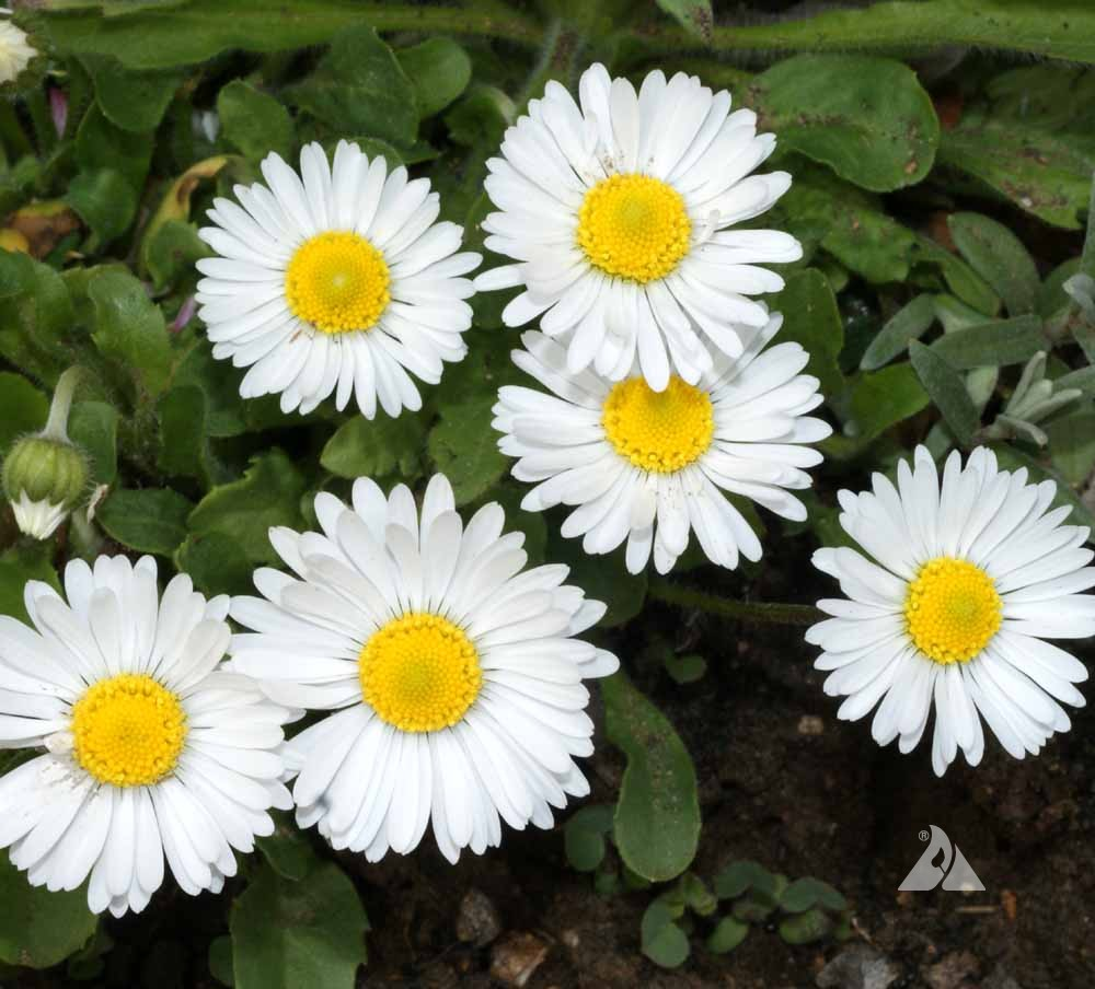Single white english daisy bellis perennis applewood seed company english daisy izmirmasajfo