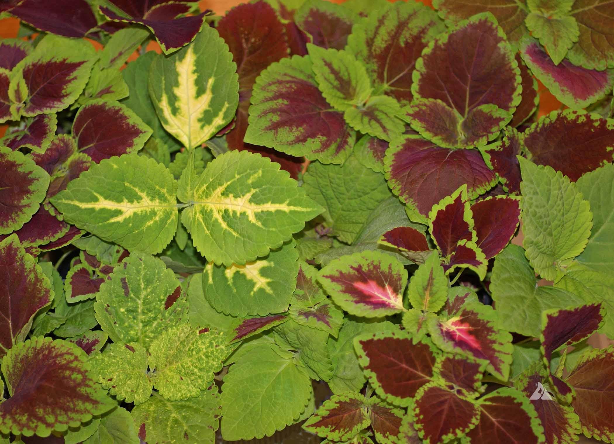 Coleus Rainbow Mix Coleus Blumei Applewood Seed Company