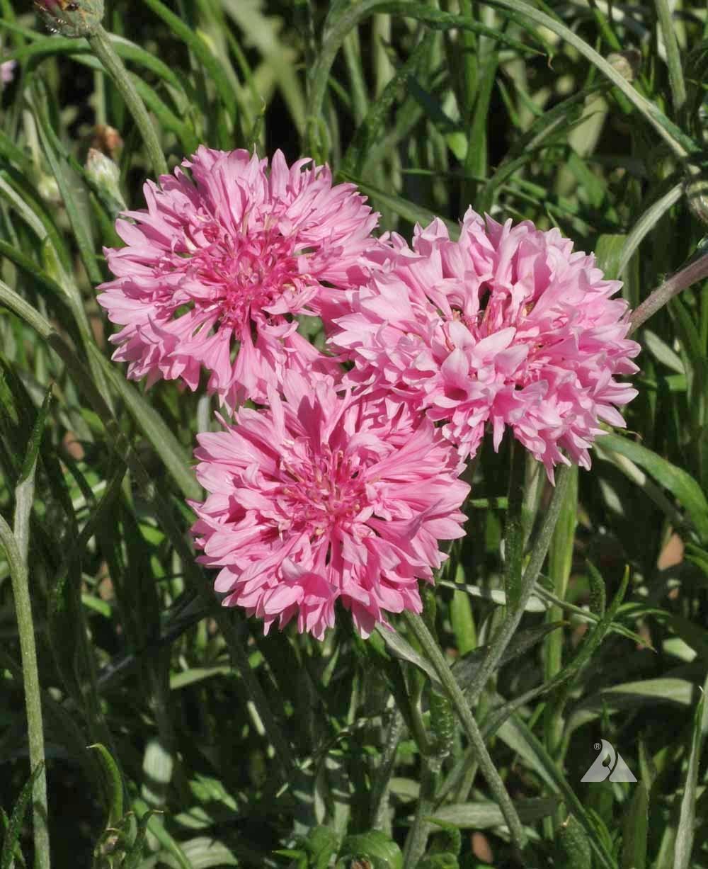 Tall Pink Cornflower Centaurea Cyanus Applewood Seed Company