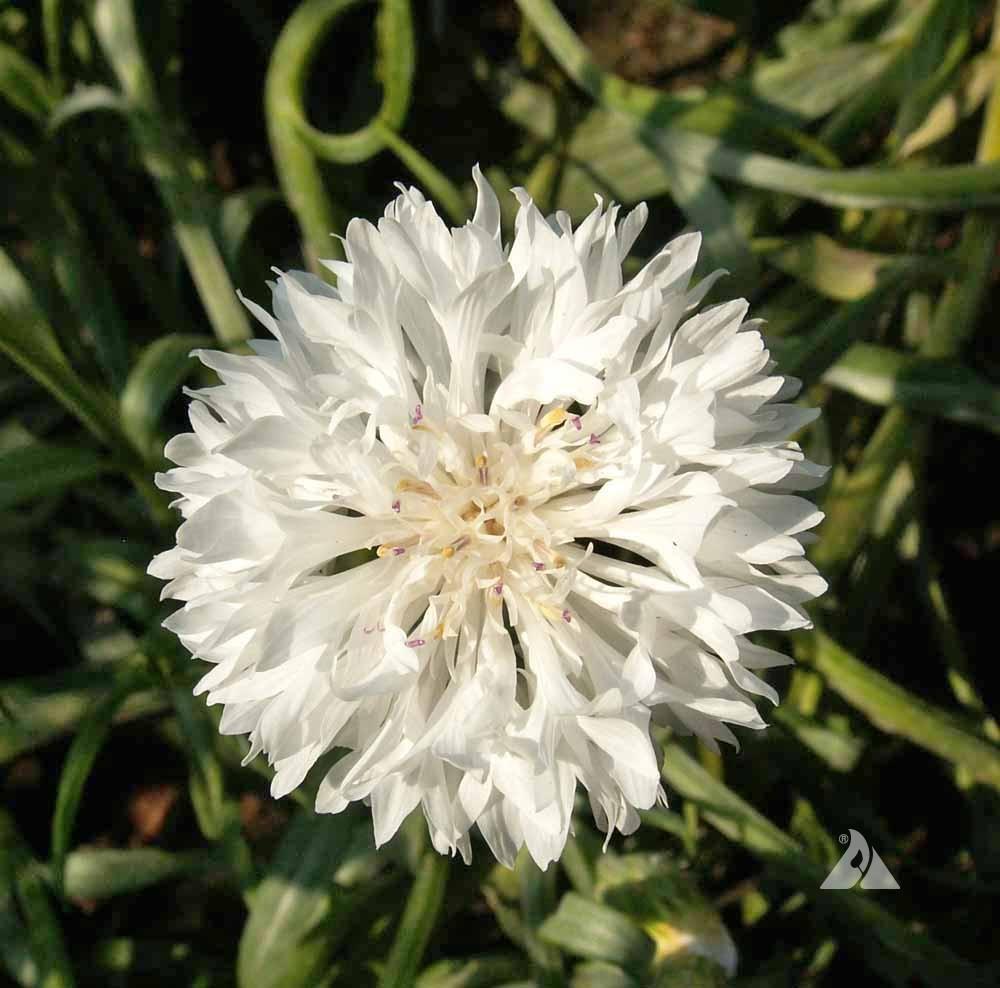 Tall White Cornflower Centaurea Cyanus Applewood Seed Company
