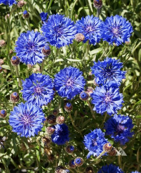 Cornflower Tall Blue