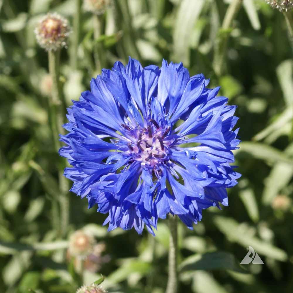Tall Blue Cornflower Centaurea Cyanus Applewood Seed Company