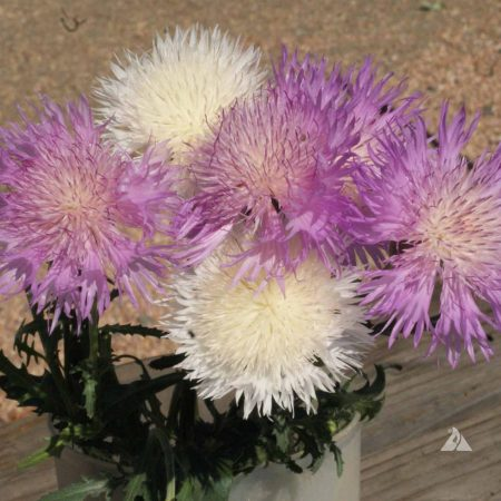 Centaurea moschata
