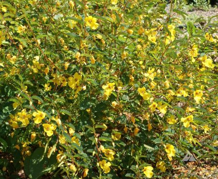 Cassia fasciculata
