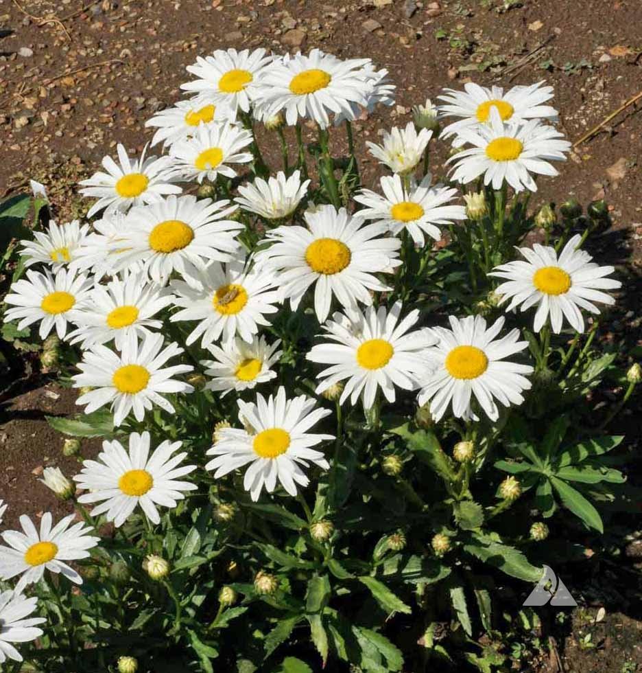 Shasta silver princess daisychrysanthemum maximumapplewood seed additional information izmirmasajfo