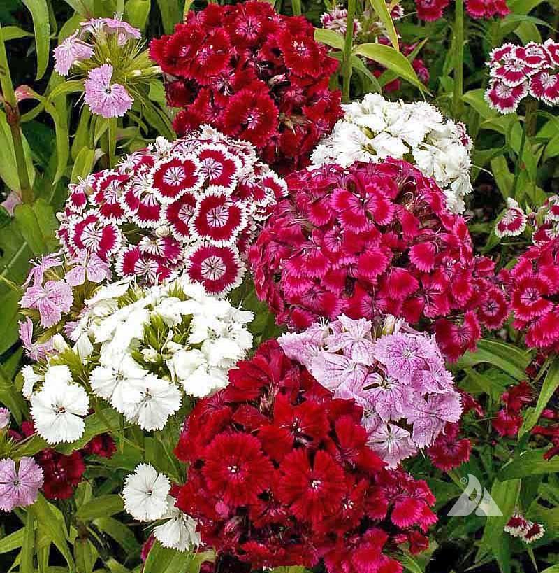 Sweet William Pinks Dianthus Barbatus