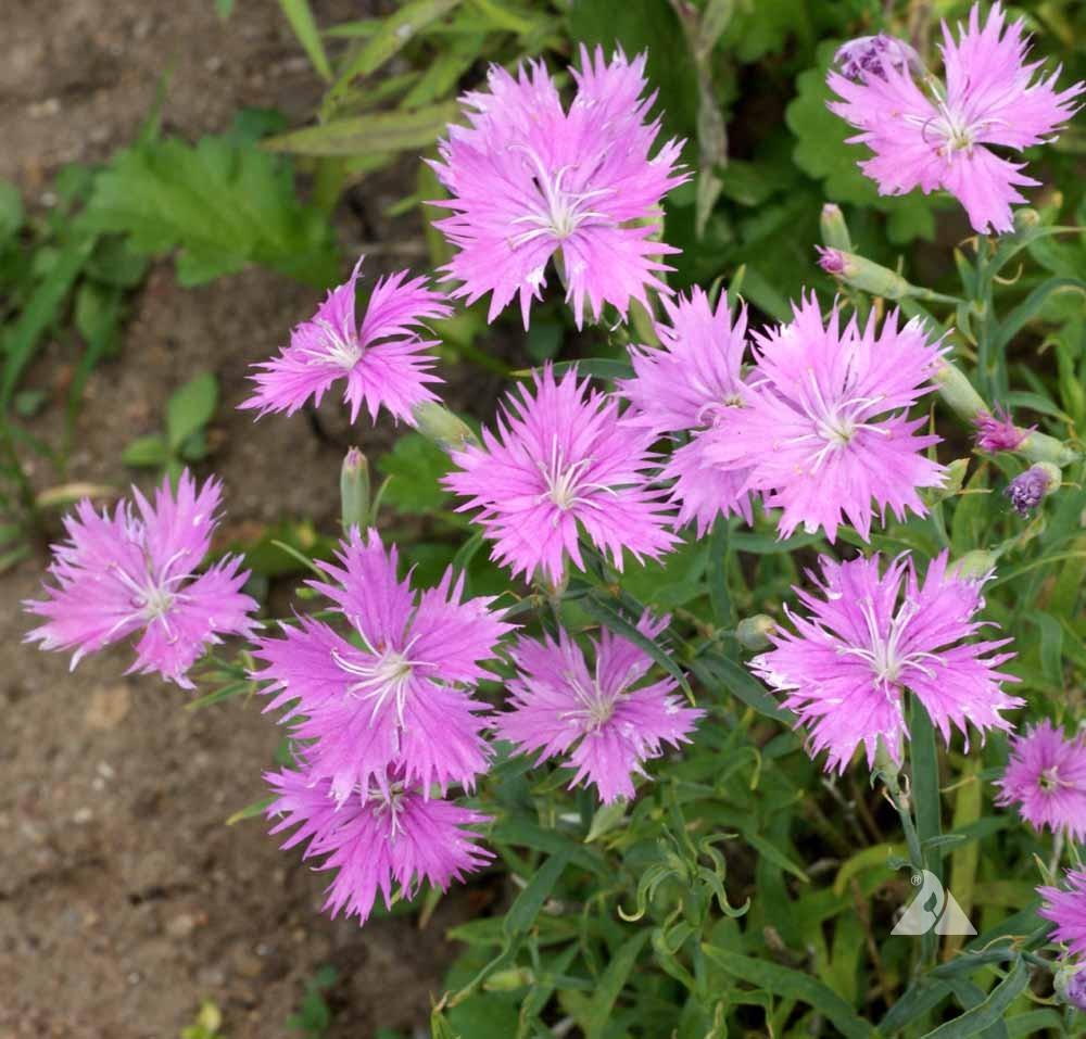 Fringed Pinks Dianthus Superbus Applewood Seed Company