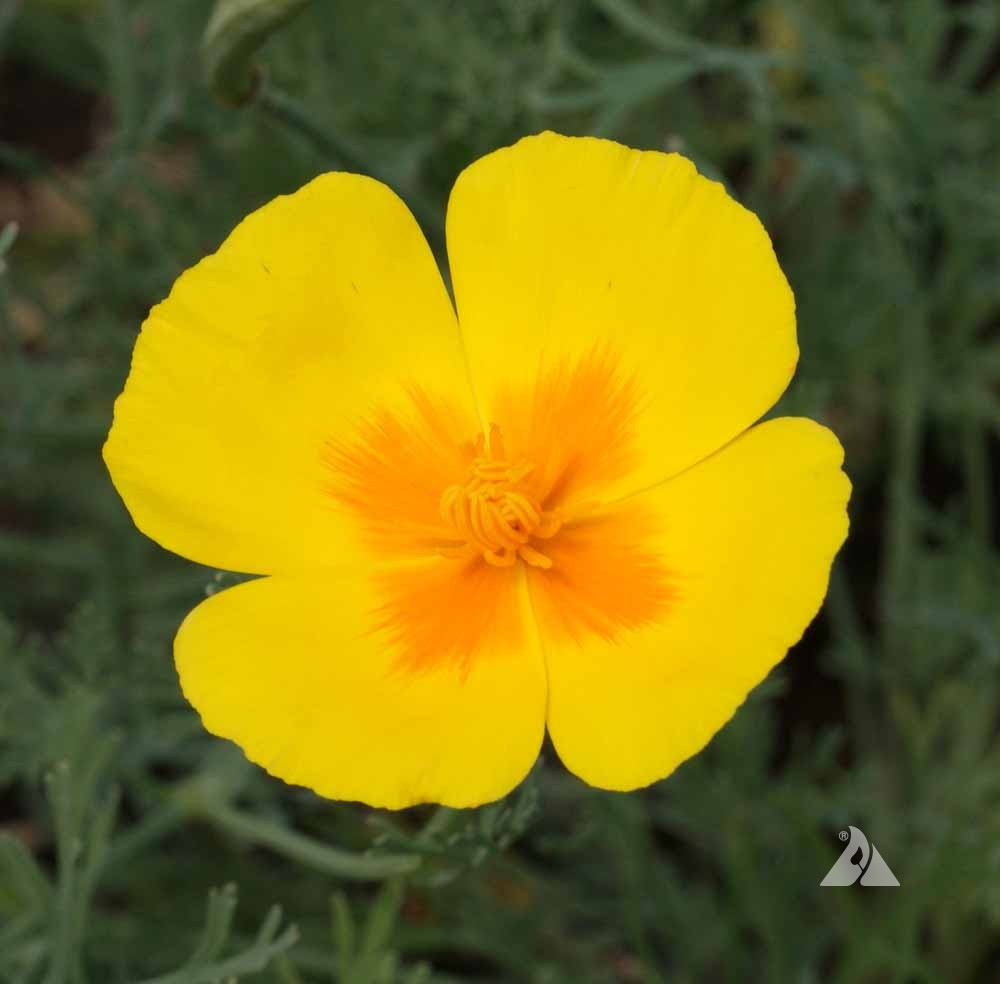 California Poppy Golden West Eschscholzia Californica Applewood Seed