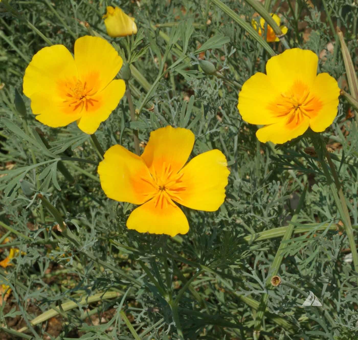 California poppy golden west eschscholzia californica applewood seed 10 mightylinksfo