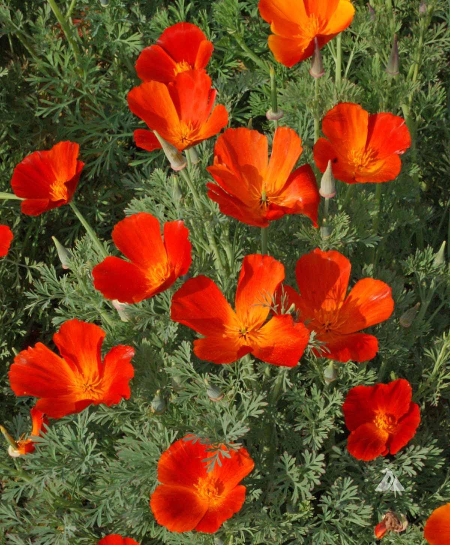 California poppy mikado eschscholzia californica applewood seed co 10 mightylinksfo