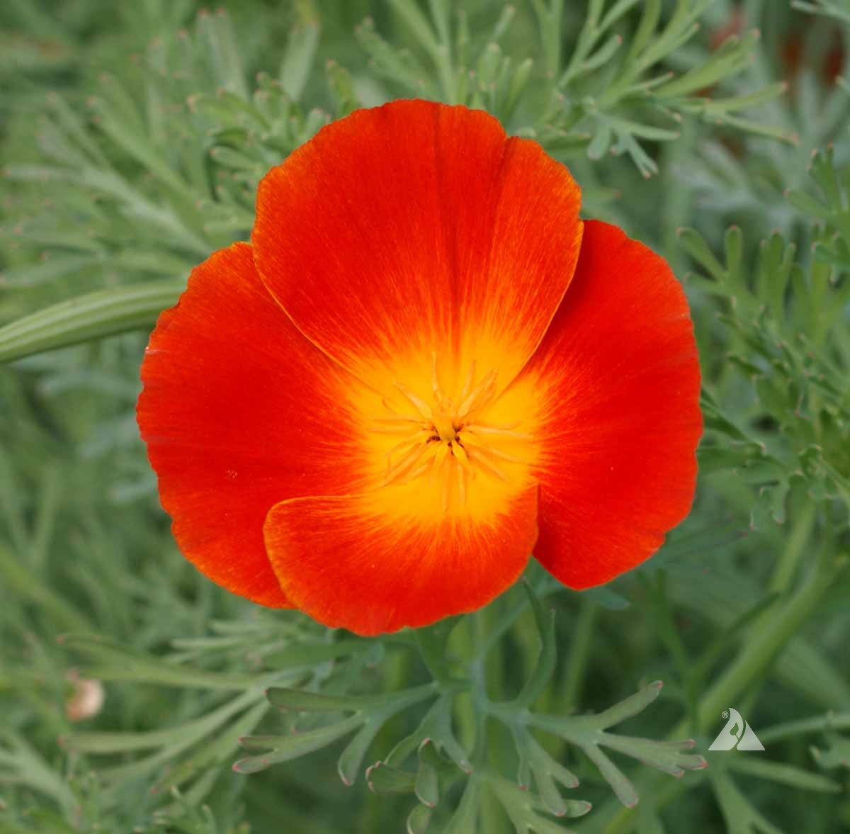 California Poppy Red Chief Eschscholzia Californica Applewood Seed