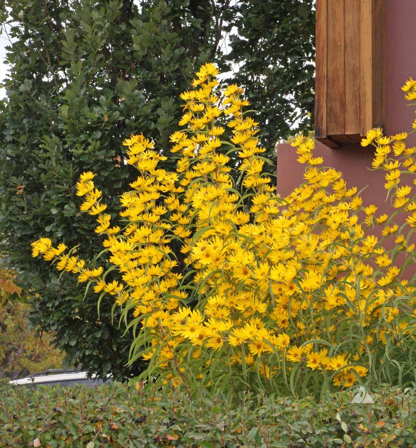 Maximilian Sunflower Helianthus Maximiliani Applewood
