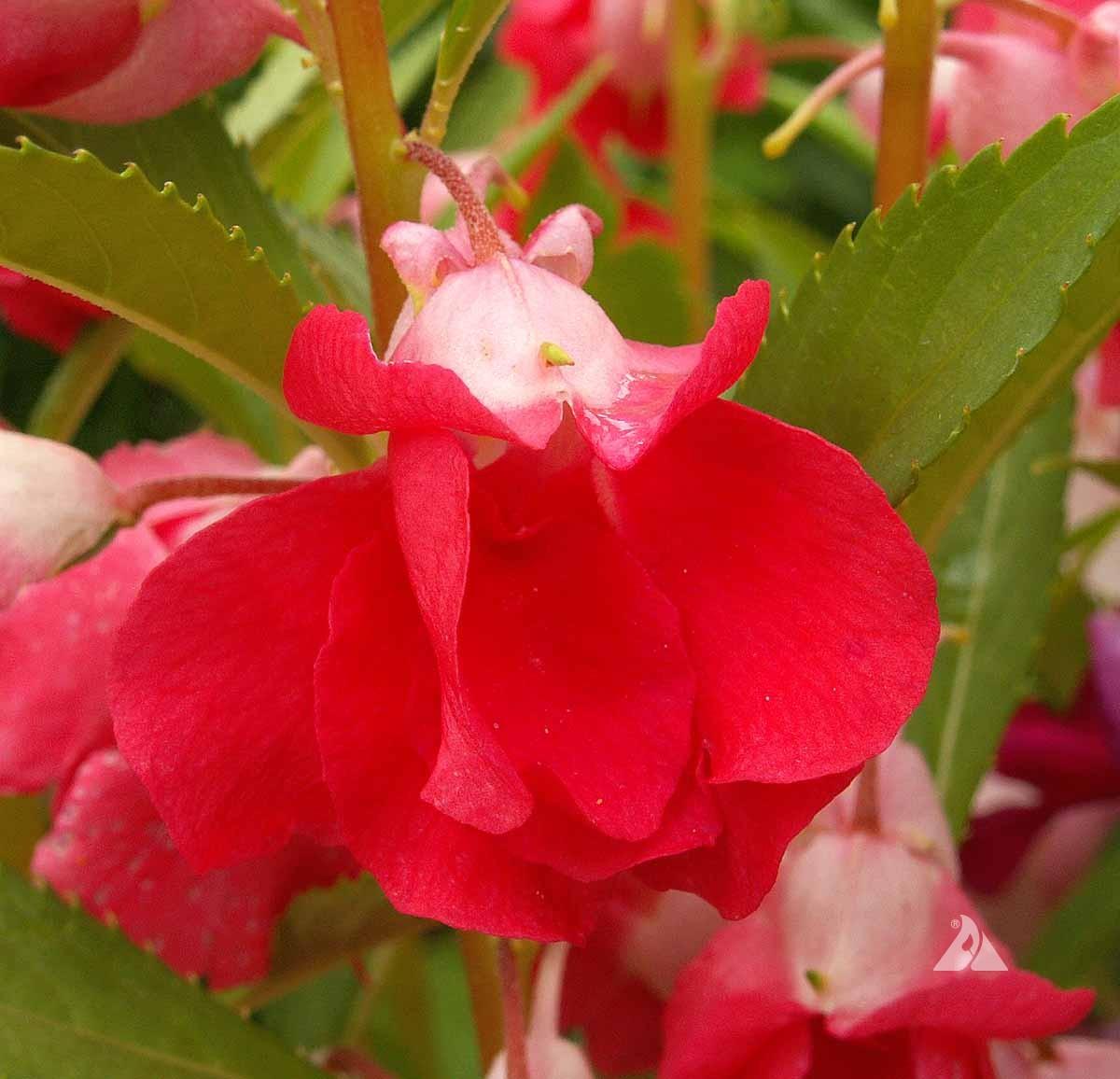 Balsam Camellia Flowered Mix Impatiens Balsamina Applewood Seed