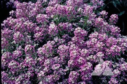 Dwarf Purple Sweet Alyssum Lobularia Maritima
