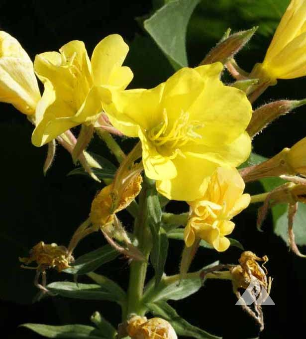 Common Evening Primrose Oenothera Lamarckiana