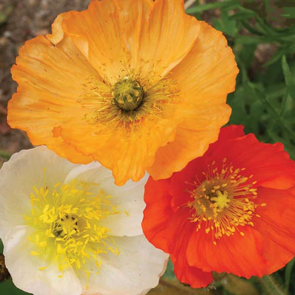 AppleWood Seed Co Honey Bees Corn Poppy