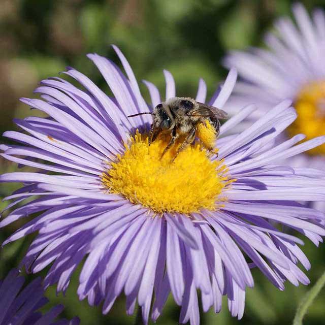 AppleWood Seed Co Honey Bees Corn Poppy
