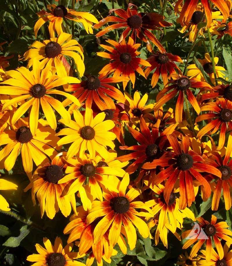 Flowers 1 Red Fowers Daisy Gloriosa Perennial Daisy Perennial Flower Flower 1 yr Live Plant Live Plants Orange Rudbeckia Hirta,