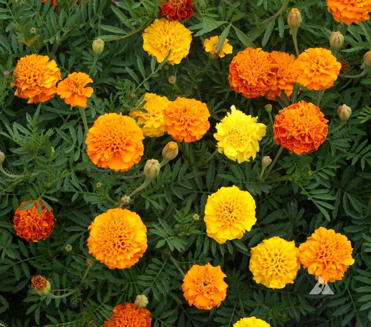 Marigold Petite Mixed Seeds
