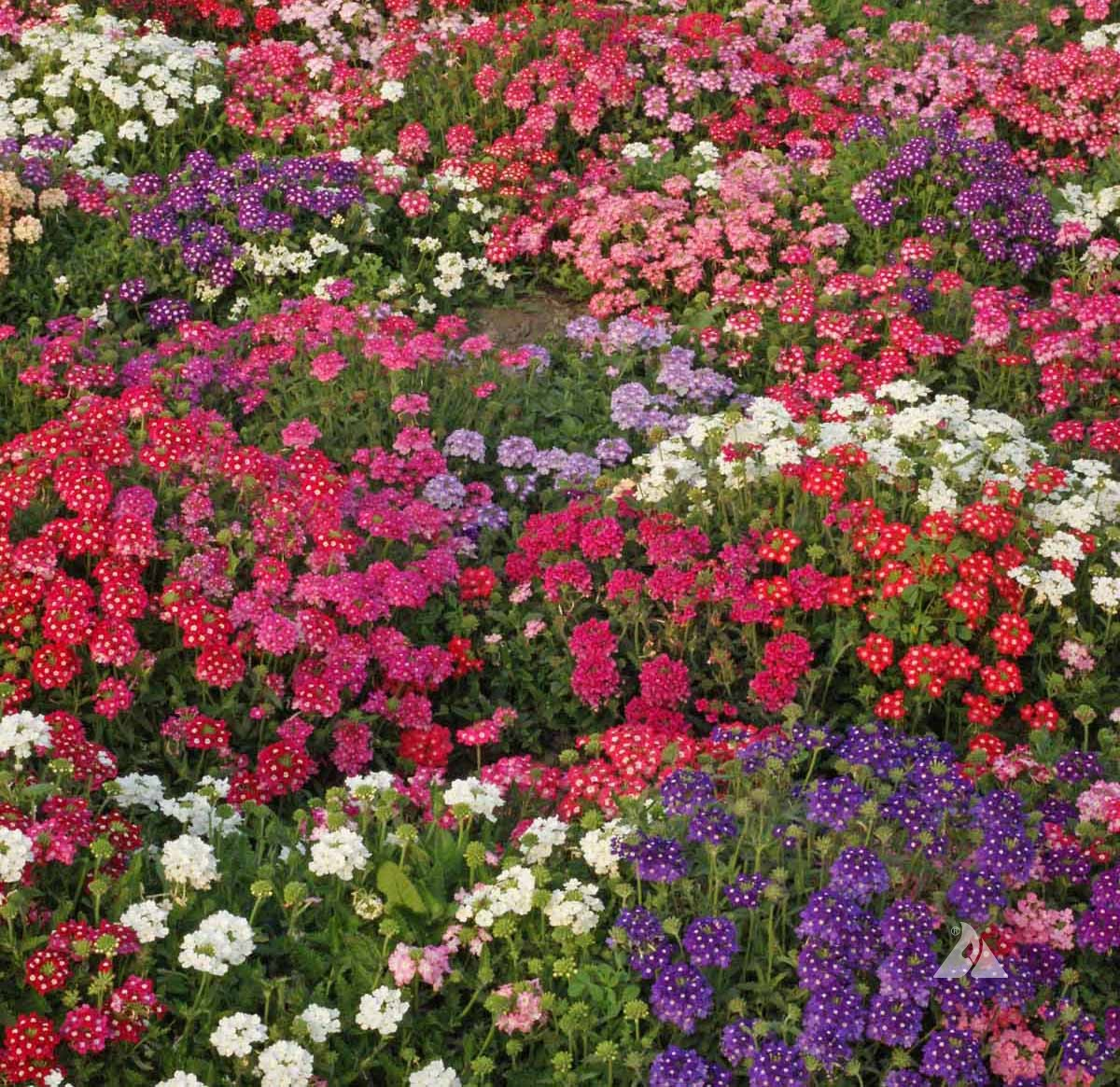 K Verbena Hybrida Scentsation Mix Approx 25 seeds Bedding Plant,