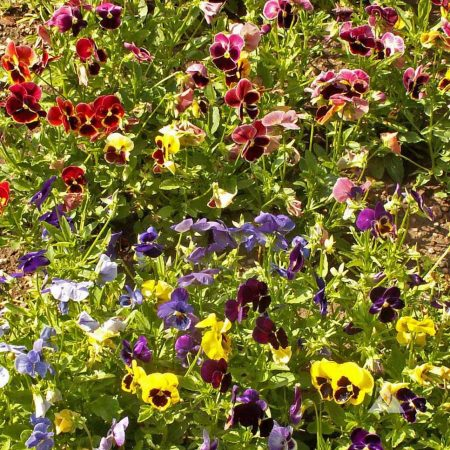 """Pansy """"Swiss Giant"""" flower seed mix"""
