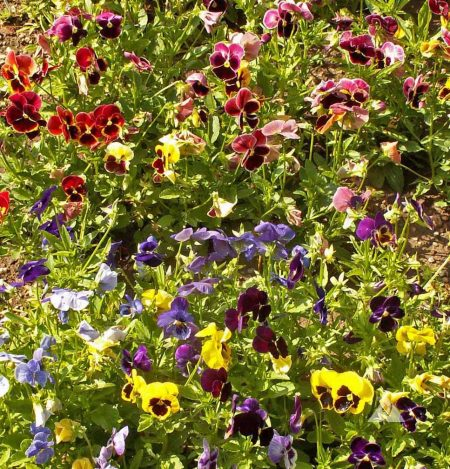 "Pansy ""Swiss Giant"" flower seed mix"