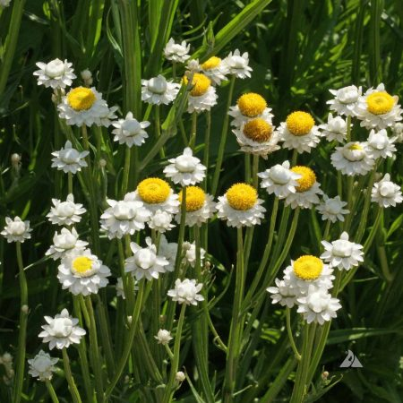 Winged Everlasting or Everlasting Flower