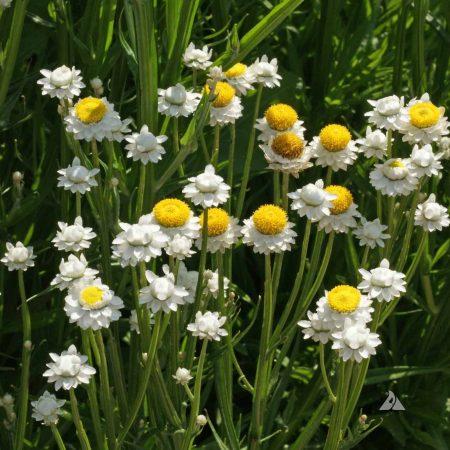 Winged Everlasting or Everlasting Flower