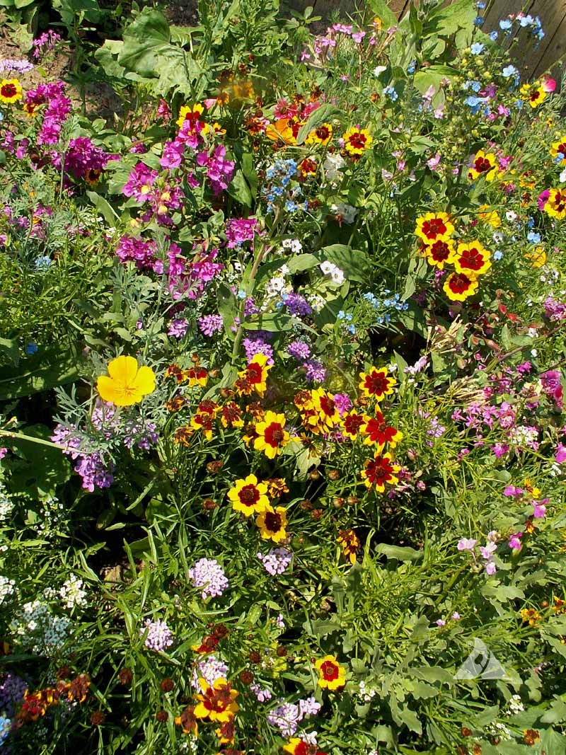 Annuals for sun seed mixtureapplewood seed company annuals for sun seed mixture izmirmasajfo