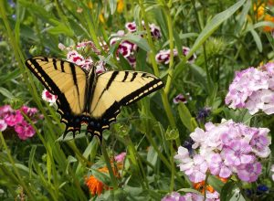 Butterfly Mixture