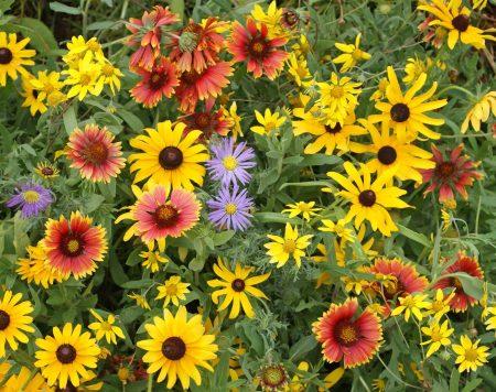 Mountain Native Wildflower Mix