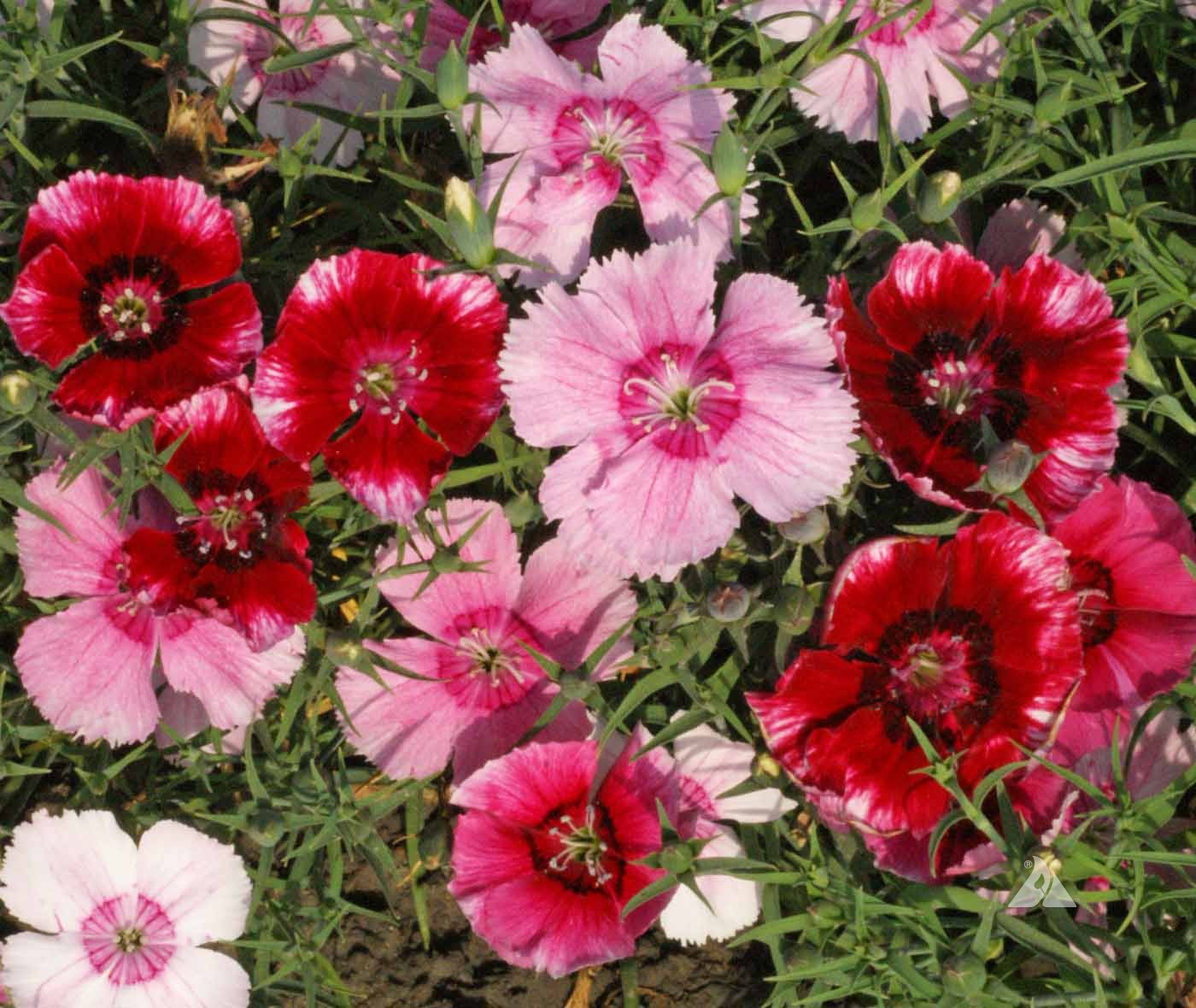 Dianthus Baby Doll Dianthus Chinensis Applewood Seed Company