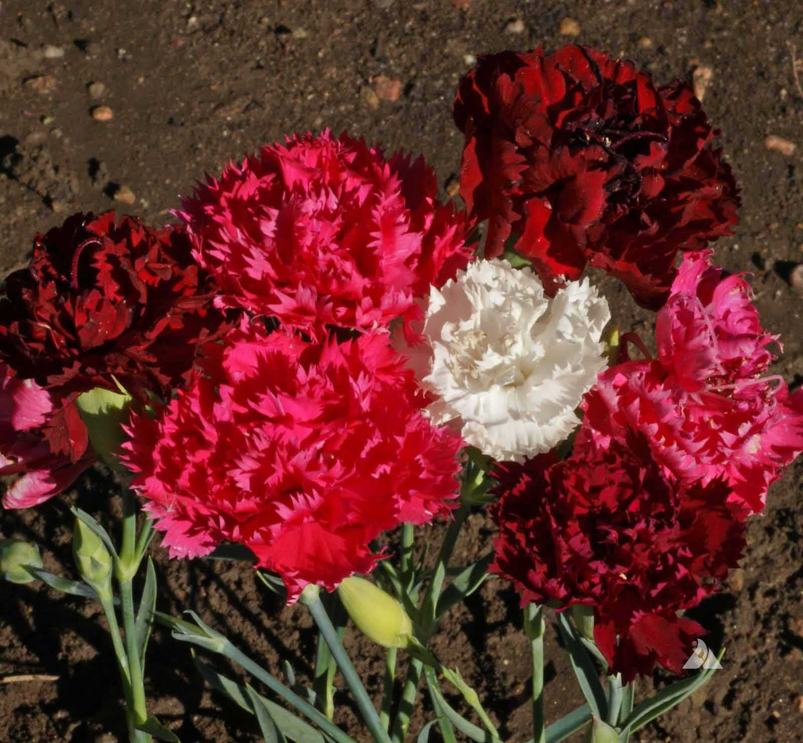 Clove Carnation Chabaud Mix (Dianthus caryophyllus) | Applewood Seed