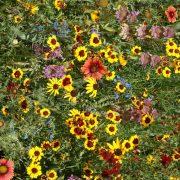 Eastern Pollinator Seed Mix