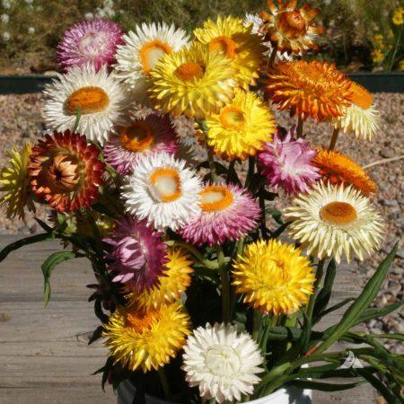 Everlasting Flower Seed Mix