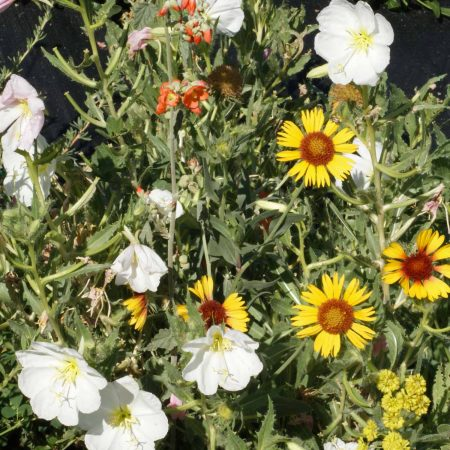 Intermountain Native Wildflower Mix