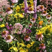Native Flower Mix for Monarchs