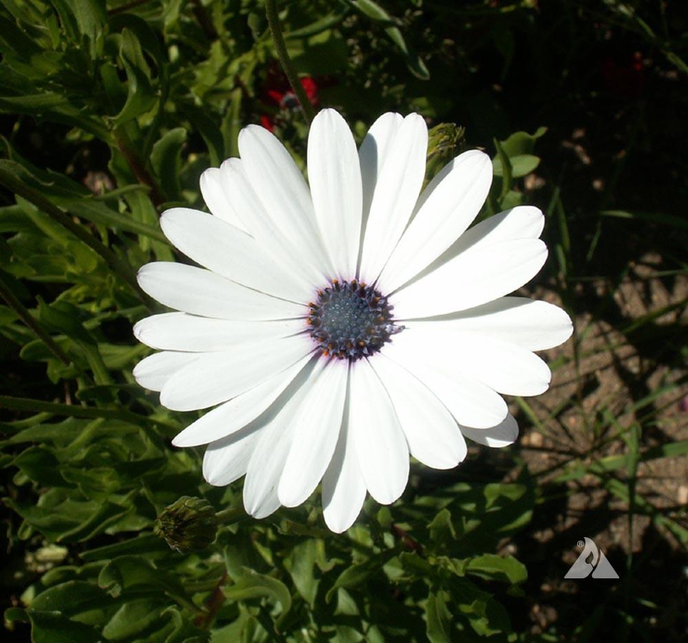 White cape daisy osteospermum eklonis applewood seed company additional information izmirmasajfo