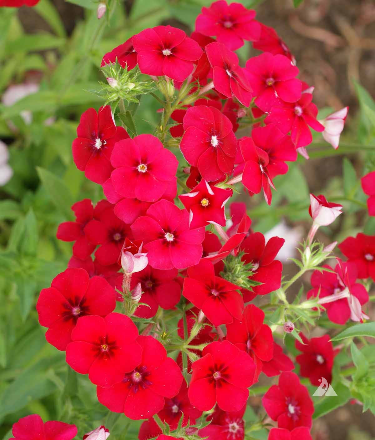 red annual phlox phlox drummondii applewood seed company. Black Bedroom Furniture Sets. Home Design Ideas